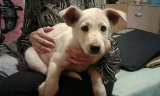 Alsation Puppy