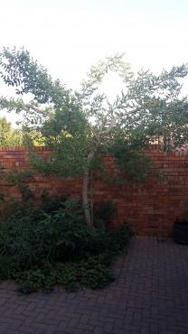 Marula / Maroela tree for sale