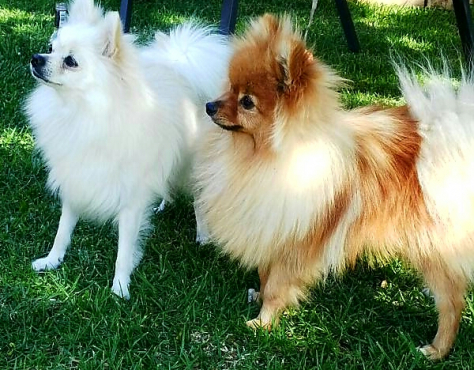 Beautiful miniature Purebred pomeranian Male puppies