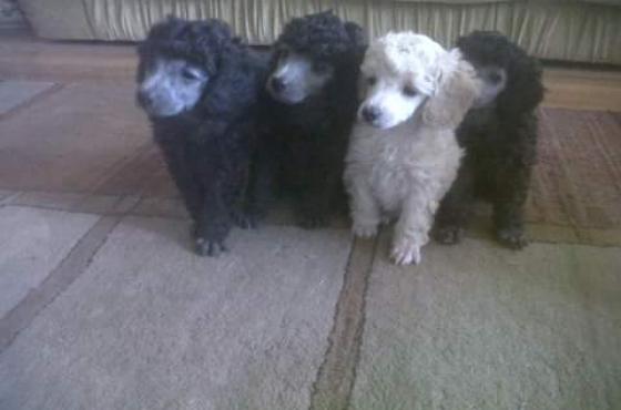 Kusa reg Miniture French Poodle Puppies