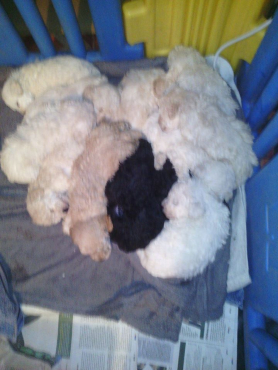 8 Week Old Vet Checked and Vaccinated Boys R5000 Girls R8000