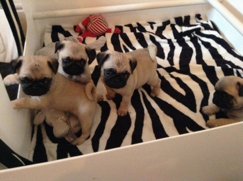 Superb Pug Puppies