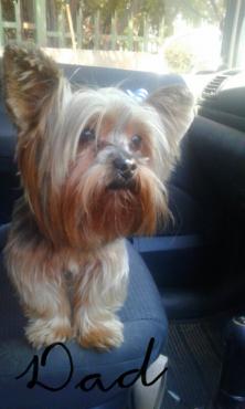 Yorkie puppy - female