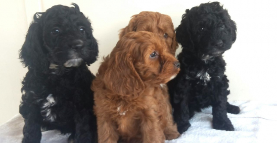 F1 Cockapoo Puppies