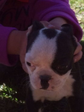 Boston Terrier Puppies - 4 Male left