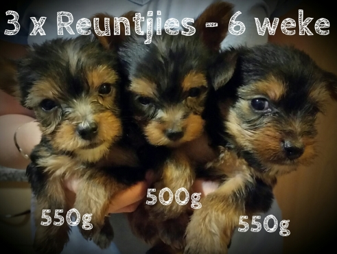 Yorkshire Terrier Pups