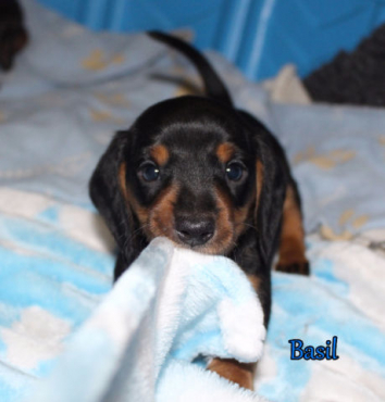8 weeks old Miniature Dachshund puppies
