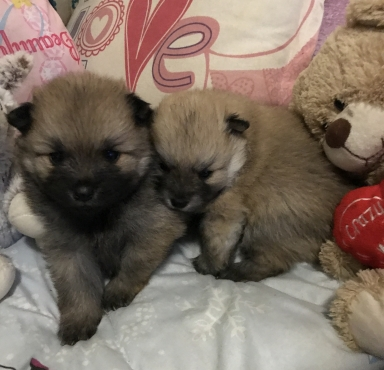 Mini Toypom Puppies | Junk Mail