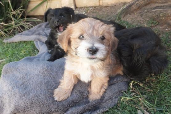 Cute Morkie Pups!