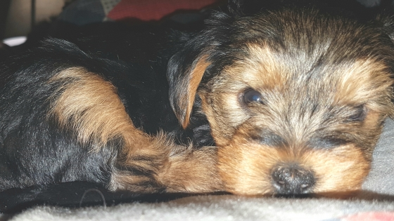 Black and brown Yorkie