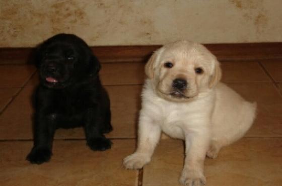 KUSA REG LABRADOR yellow and black pups