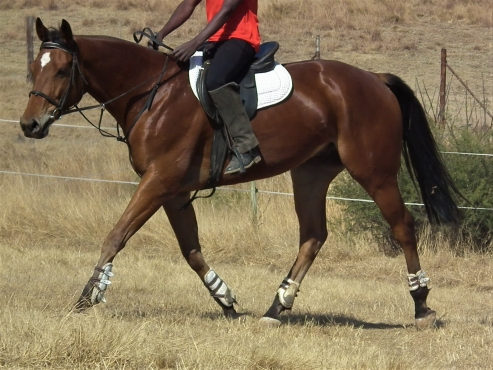 Absolutly stunning tb gelding