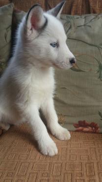 Piebalt Huskies