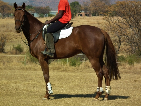 Nice and stockey tb gelding