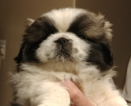 Stunning Pekingese Puppies available to reputable forever homes