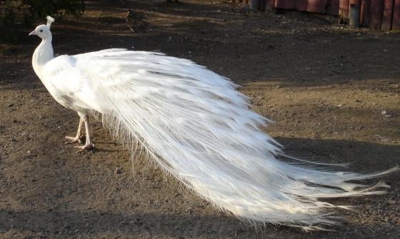 Jong wit poue