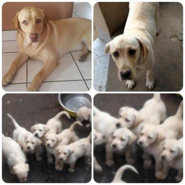 Beautiful Labrador puppies Lab