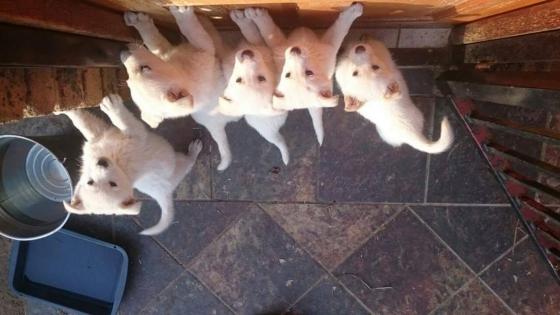 Swiss Shepard Puppies