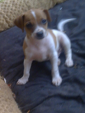 Jack Russell CanineSA registered short leg  puppies R1999