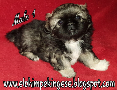 PEKINESE PUPPIES MINITURE 8MALES