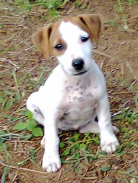 Jack Russell thorough bred registered short leg males and females from R999