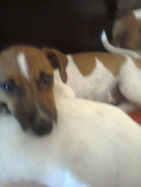 Special offer of Jack Russell thoroughbred registered 5 months short leg males and females R999