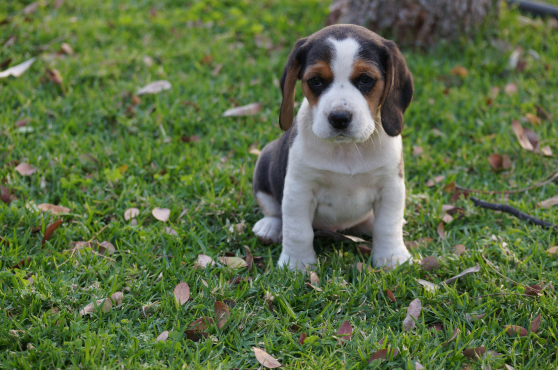 Beagle Hondjies