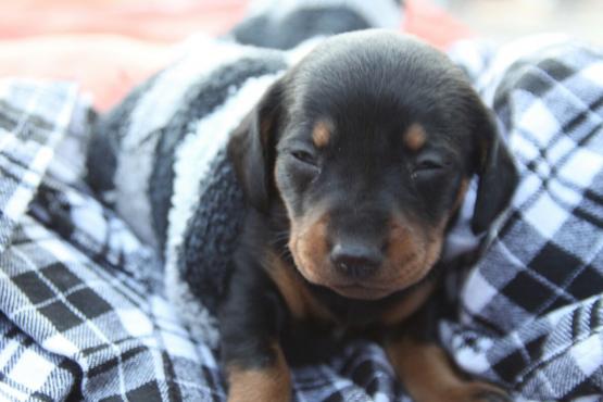 Dachshund Puppies Worsies