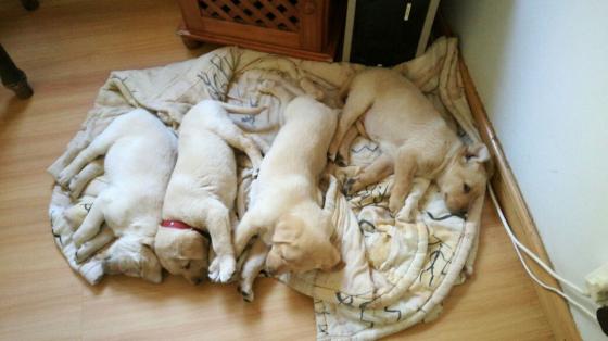 Labradors pups