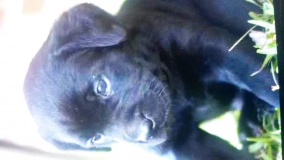 Labradore pups