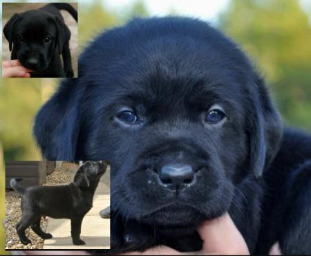 Labradore puppys