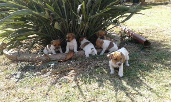 jack russel short leg puppies