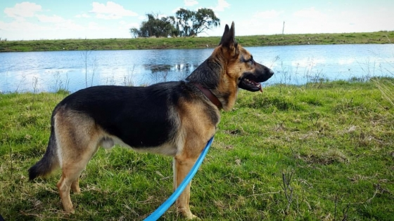 German shephard female puppies for sale