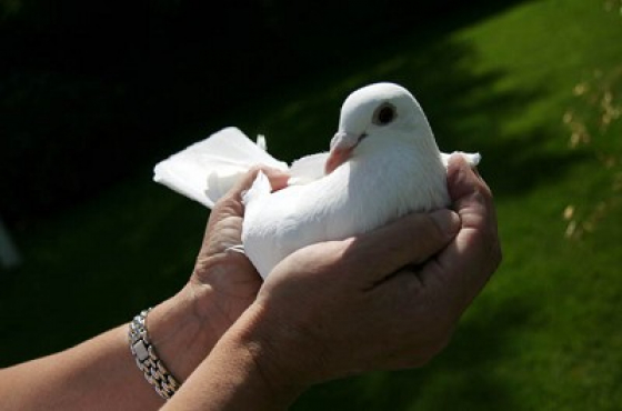 Snow white Dove release