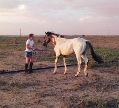 Great Appaloosa Stallion for sale