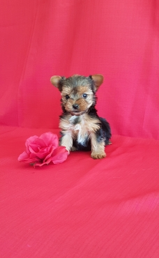 Female Yorkies available