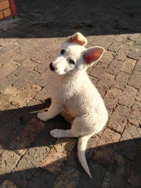 Pure breed white swizz shephered