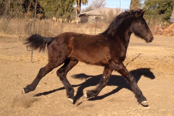 Friesian colt for sale