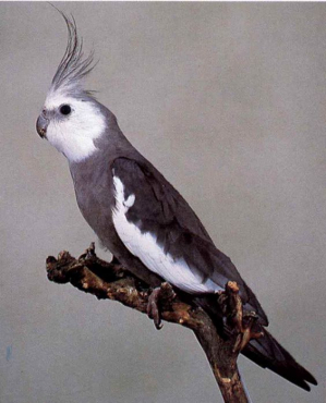 Cockatiel, White-Faced Male