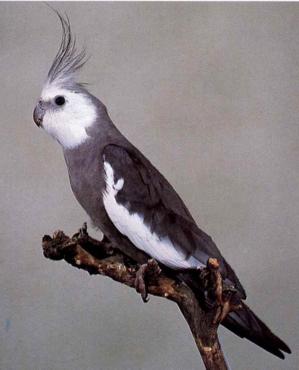 Cockatiel, White-Faced Male
