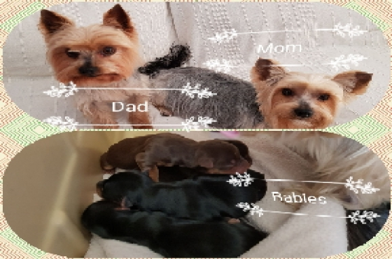 Yorkshire puppies for sale | Junk Mail