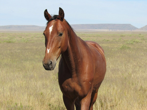 Angelo : 8 year old Gelding