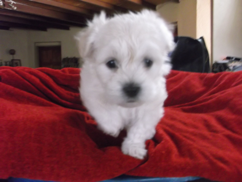 Pure, unregistered miniature Maltese Puppies for sale