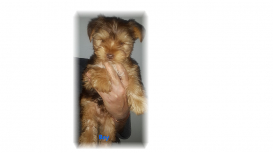 2 x Chocolate Registered Yorkies for sale