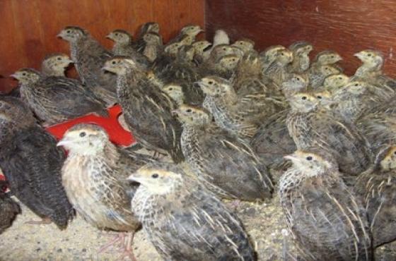 Jumbo Quail Breeding Stock