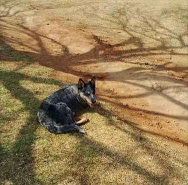 Suiwer Australiese Beeshonde (blue heelers)