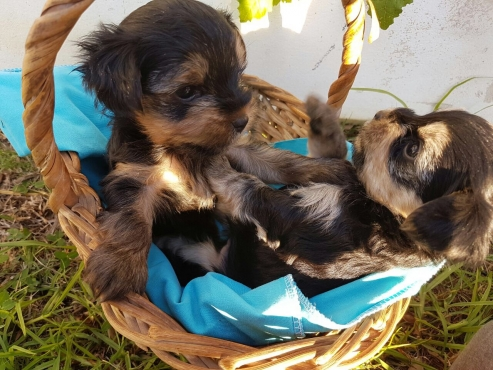 Four Yorkie Pups