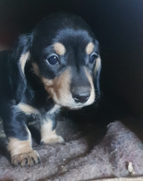 Beautiful miniature dachshund puppies for sale.