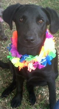 Black labrador female