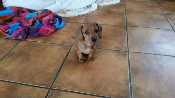 minature dachshund pup
